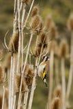 Goldfinch (Carduelis-carduelis) Royalty Free Stock Image