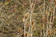 Goldfinch (Carduelis-carduelis) Stock Photos