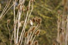 Goldfinch (Carduelis-carduelis) Royalty Free Stock Photo