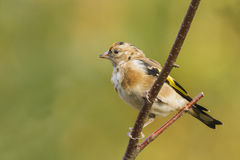 Goldfinch (Carduelis-carduelis) Royalty Free Stock Images