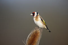 Goldfinch, carduelis Carduelis Στοκ Εικόνες