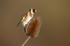Goldfinch, carduelis Carduelis Στοκ Φωτογραφίες