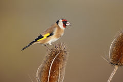 Goldfinch, carduelis Carduelis Στοκ εικόνες με δικαίωμα ελεύθερης χρήσης