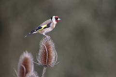 Goldfinch, carduelis Carduelis Στοκ Εικόνα