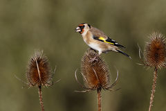 Goldfinch, carduelis Carduelis Στοκ φωτογραφία με δικαίωμα ελεύθερης χρήσης