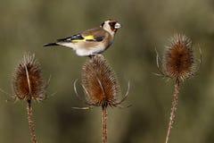 Goldfinch, carduelis Carduelis Στοκ φωτογραφίες με δικαίωμα ελεύθερης χρήσης