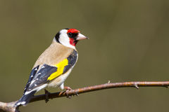Goldfinch (Carduelis-carduelis) Stock Photography