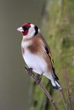Goldfinch - carduelis Carduelis Στοκ Εικόνες