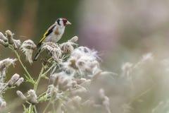 Goldfinch Carduelis Carduelis Στοκ Εικόνα