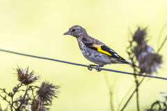 Goldfinch Carduelis Carduelis Στοκ φωτογραφία με δικαίωμα ελεύθερης χρήσης