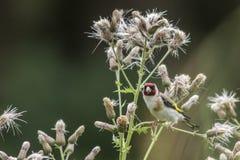 Goldfinch Carduelis Carduelis Στοκ εικόνες με δικαίωμα ελεύθερης χρήσης
