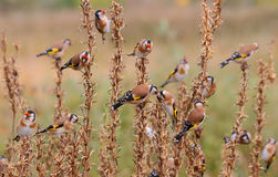 Goldfinch. Carduelis carduelis. Stock Images