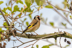 Goldfinch Carduelis carduelis carrying nest material Stock Image