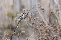 Goldfinch Royalty Free Stock Image