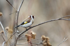 Goldfinch Stock Images