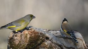 Goldfinch and european green finch sitting on the winter bird feeder stock footage
