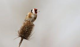 Goldfinch Carduelis carduelis feeding on a teasel plant. Stock Photography