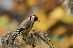Goldfinch Carduelis carduelis feeding on a thistle. stock image