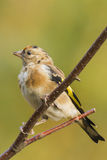Goldfinch (Carduelis-carduelis) Royalty Free Stock Photo