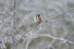 Goldfinch (Carduelis-carduelis) Royalty Free Stock Photography