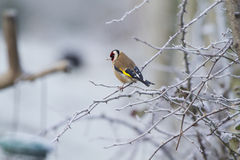 Goldfinch (Carduelis-carduelis) Royalty Free Stock Photos