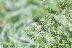 Goldfinch, Carduelis Carduelis Royalty Free Stock Photos