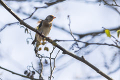 Goldfinch Carduelis carduelis Royalty Free Stock Photo