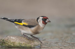 Goldfinch Carduelis carduelis series 01 Royalty Free Stock Image