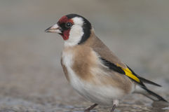 Goldfinch Carduelis carduelis series 02 Royalty Free Stock Images