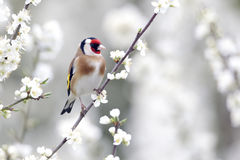 Goldfinch, Carduelis carduelis Stock Images