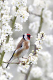 Goldfinch, Carduelis carduelis Royalty Free Stock Images
