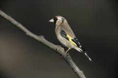 Goldfinch Carduelis carduelis Stock Image
