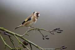 Goldfinch, Carduelis carduelis Stock Photos