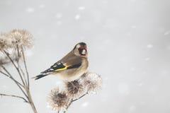 Goldfinch, Carduelis carduelis Royalty Free Stock Photo