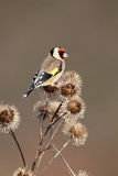 Goldfinch, Carduelis carduelis Royalty Free Stock Image