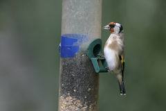 Goldfinch,Carduelis carduelis Royalty Free Stock Images