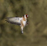 Goldfinch, Carduelis carduelis Royalty Free Stock Photo