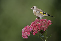 Goldfinch,Carduelis carduelis Stock Image