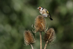 Goldfinch,Carduelis carduelis Stock Image