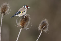 Goldfinch, Carduelis carduelis, Royalty Free Stock Photography