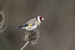Goldfinch, Carduelis carduelis, Stock Image