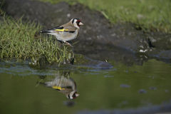 Goldfinch,Carduelis carduelis Royalty Free Stock Photography