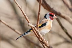 Goldfinch Carduelis carduelis sits and rests at the feeder. Goldfinch Carduelis carduelis  sitting on a branch at a feeder . Blurred background with telephoto Royalty Free Stock Photos