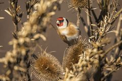 Goldfinch, Carduelis carduelis. A songbird. Carduelis carduelis, the Goldfinch is a beautiful songbird that likes to feed on thistles royalty free stock image