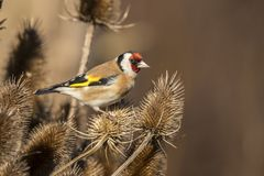 Goldfinch, Carduelis carduelis. A songbird. Carduelis carduelis, the Goldfinch is a beautiful songbird that likes to feed on thistles royalty free stock images