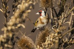 Goldfinch, Carduelis carduelis. A songbird. Carduelis carduelis, the Goldfinch is a beautiful songbird that likes to feed on thistles stock photography