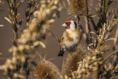 Goldfinch, Carduelis carduelis. A songbird. Carduelis carduelis, the Goldfinch is a beautiful songbird that likes to feed on thistles stock photos