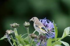 Goldfinch, Carduelis carduelis Stock Photos