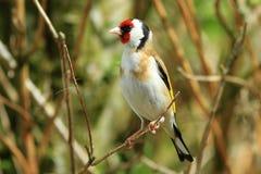 Goldfinch (carduelis del Carduelis) Foto de archivo libre de regalías