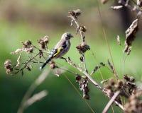 Goldfinch, carduelis del Carduelis fotografia stock libera da diritti